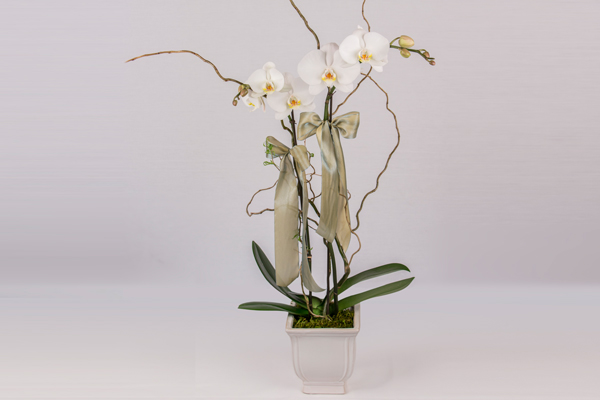 Draeger's Orchid