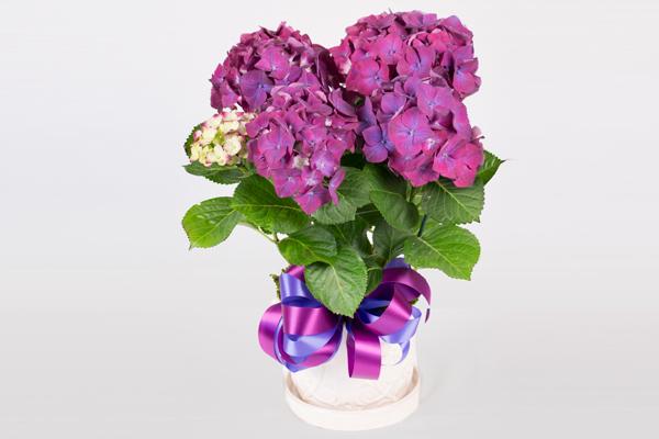 Draeger's Hydrangea Plant